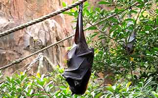 A fruit bat at Disney Animal Kingdom